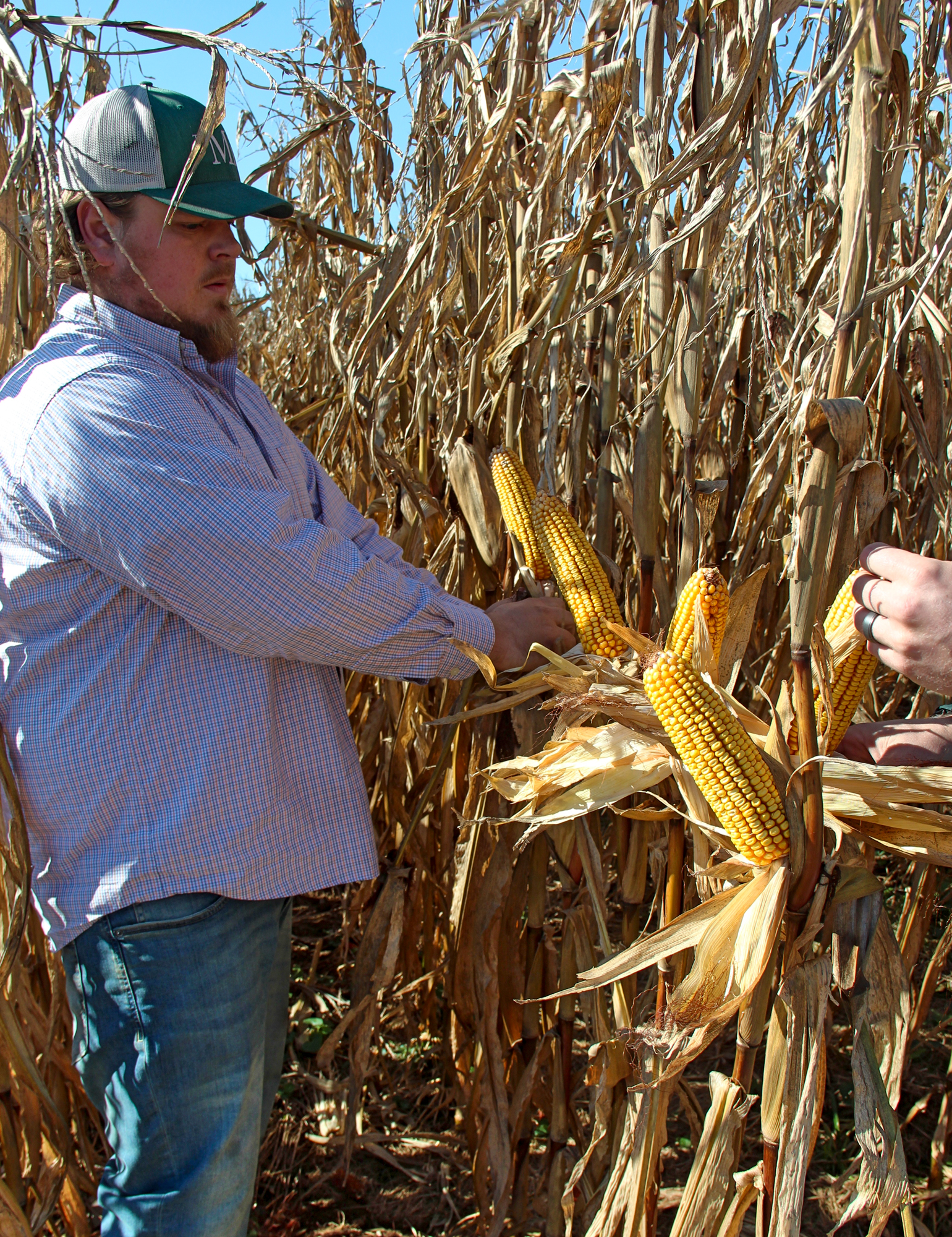 Mike Kurek inspects corn in his field