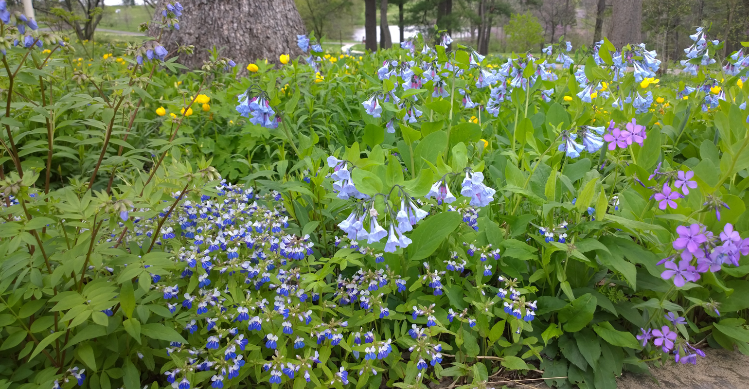 Jacob's ladder, wild sweet William, blue-eyed Mary and Virginia bluebell native plants