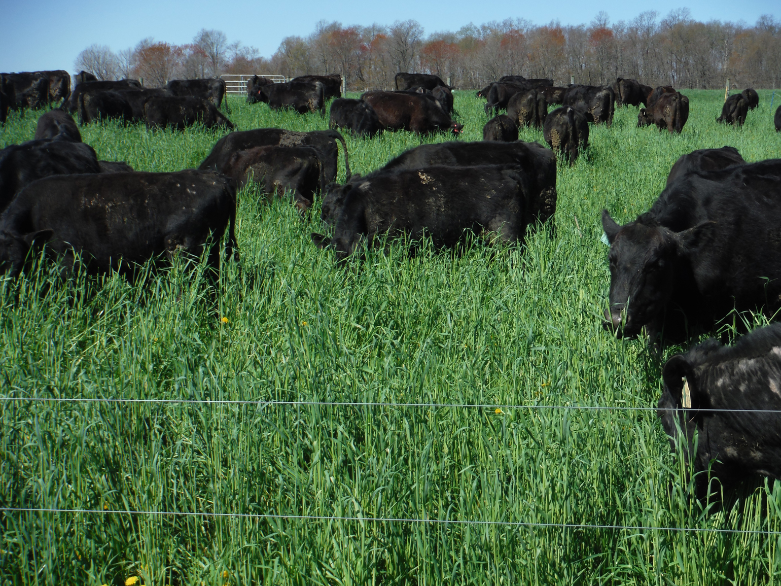Wilson's cattle graze in a paddock of lush green grass