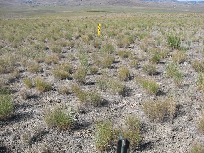 3 years grazing on cheatgrass