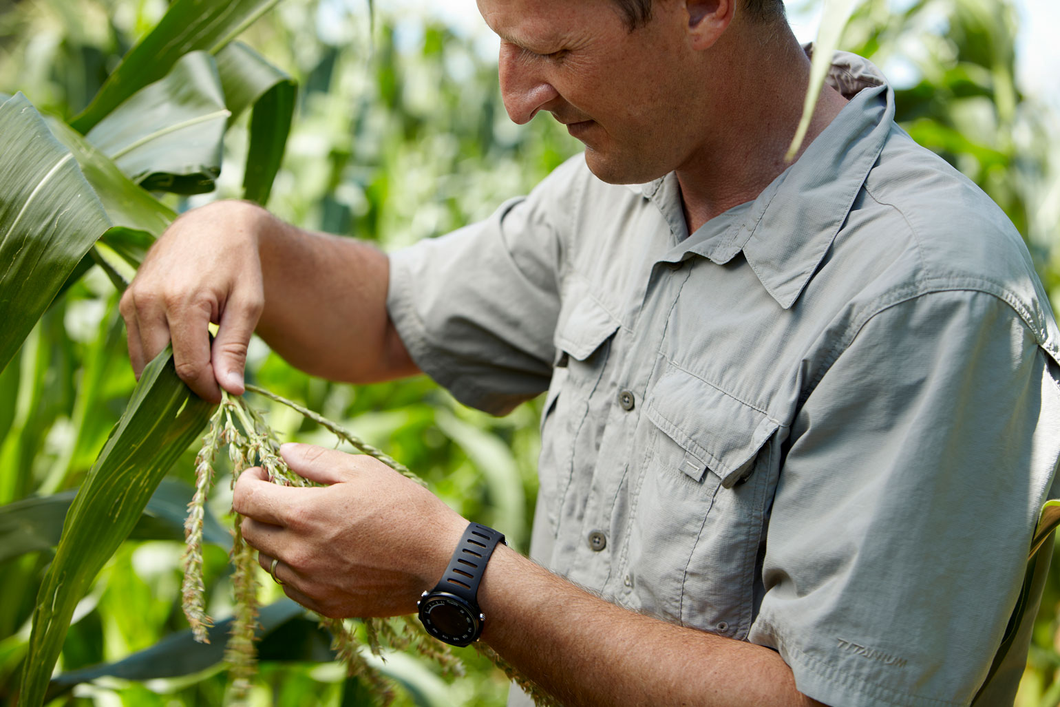 A farmer inspects the tassel of a corn plant