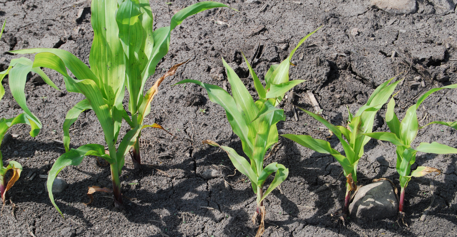 Yellow corn plants are showing up in field areas this spring where wet soils restrict early corn growth and soils have low nitrate levels.
