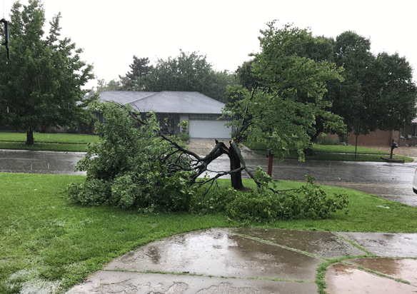 Red Bud tree destroyed by high winds and golf ball size hail