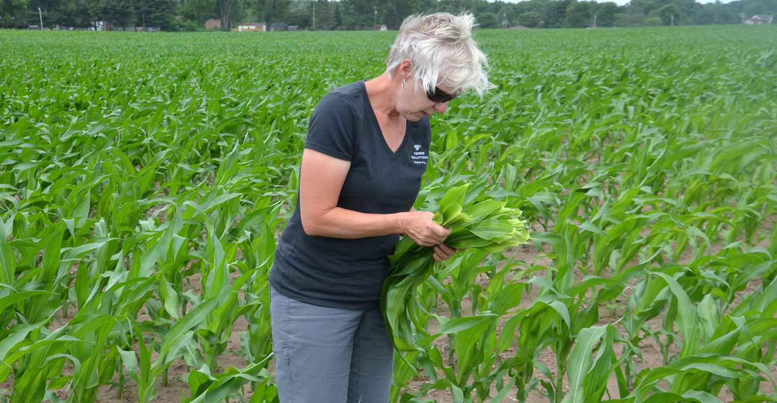 Betsy Bower collects leaves from a cornfield showing striping and lighter color