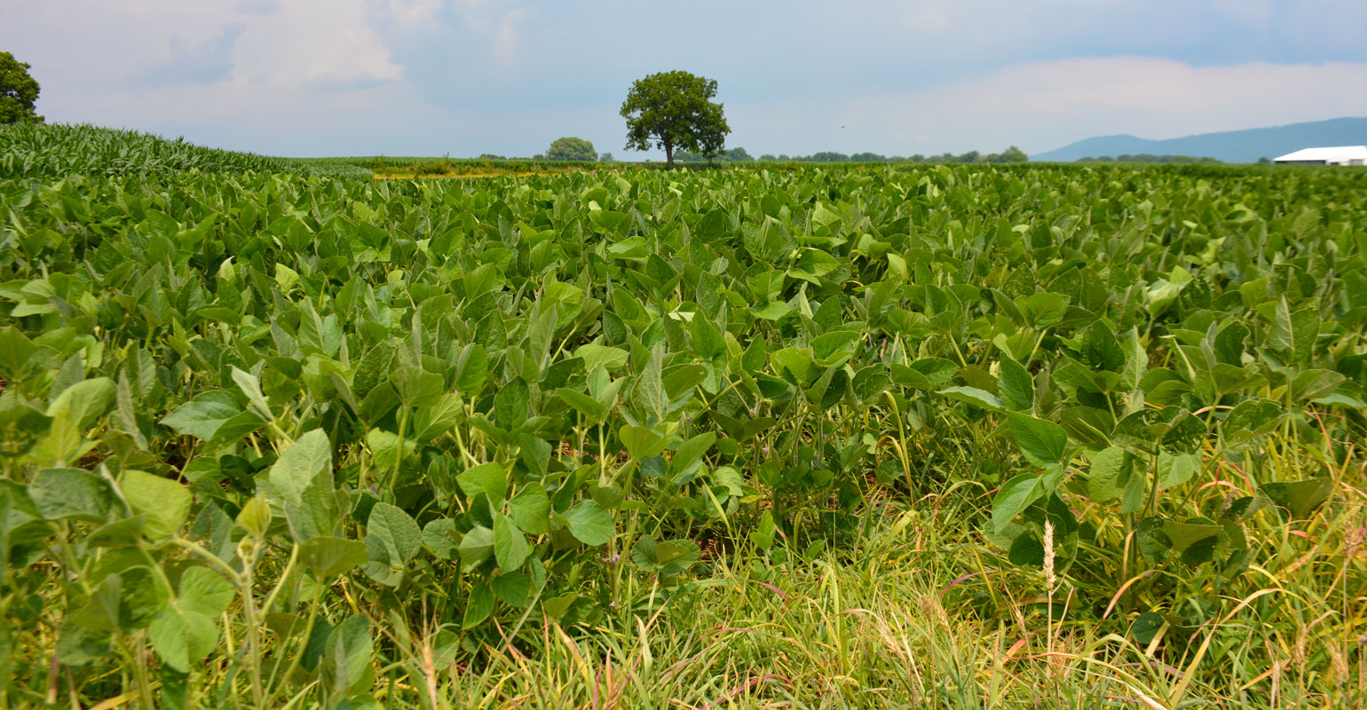 Ground-level view of soybean field