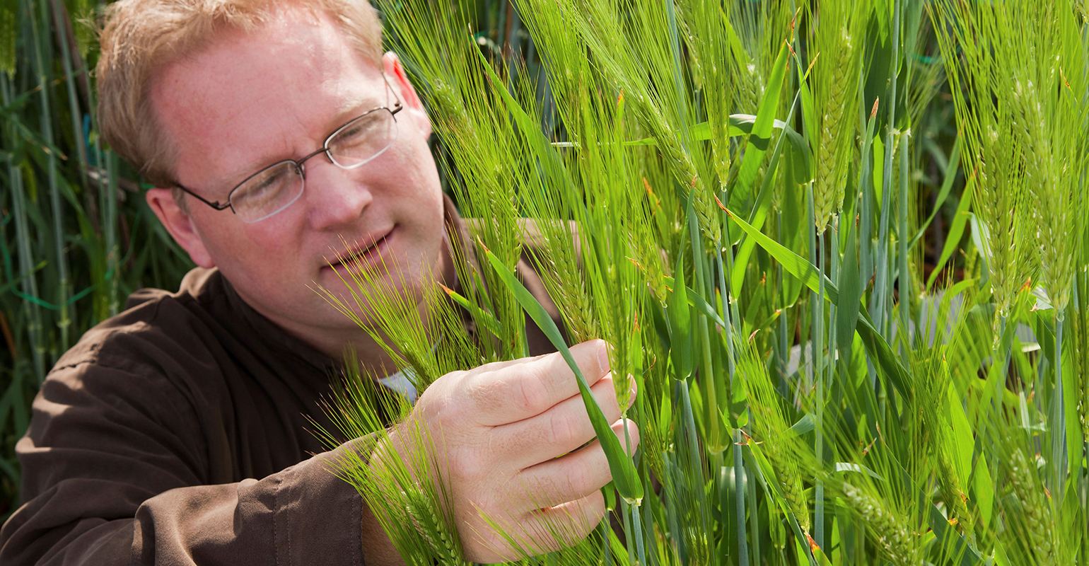 Kevin Smith, U-M oat and barley breeder, examines seed heads