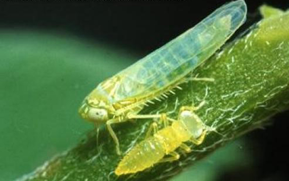 Potato leafhopper adults as well as nymphs will feed on alfalfa plants.