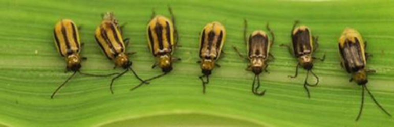 Western corn rootworm beetles are black with yellow stripes