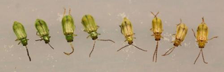 Northern corn rootworm beetles are green