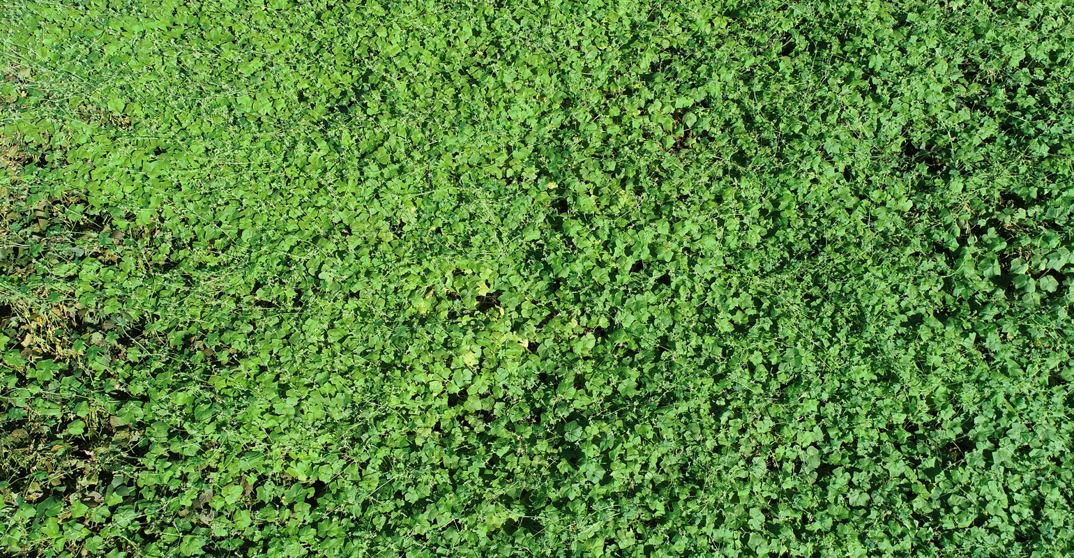 aerial image of burr cucumber in soybean field