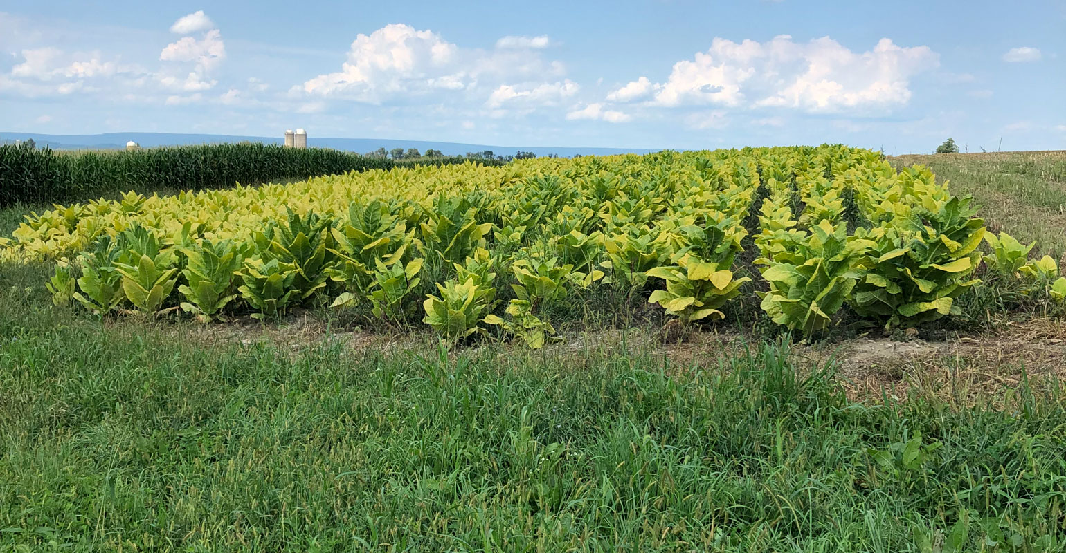 View of tobacco crop