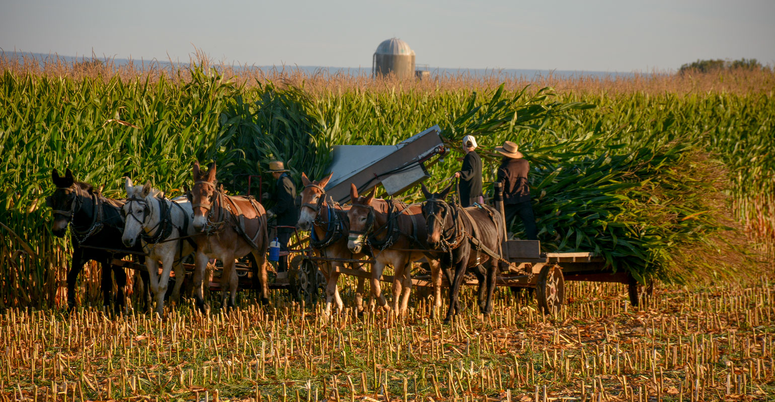 An Amish family harvests corn with a team of horses outside Schaefferstown, Pennsylvania