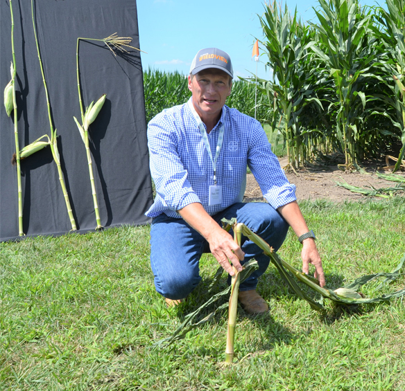 Calvin Treat shows a traditional tall corn plant.