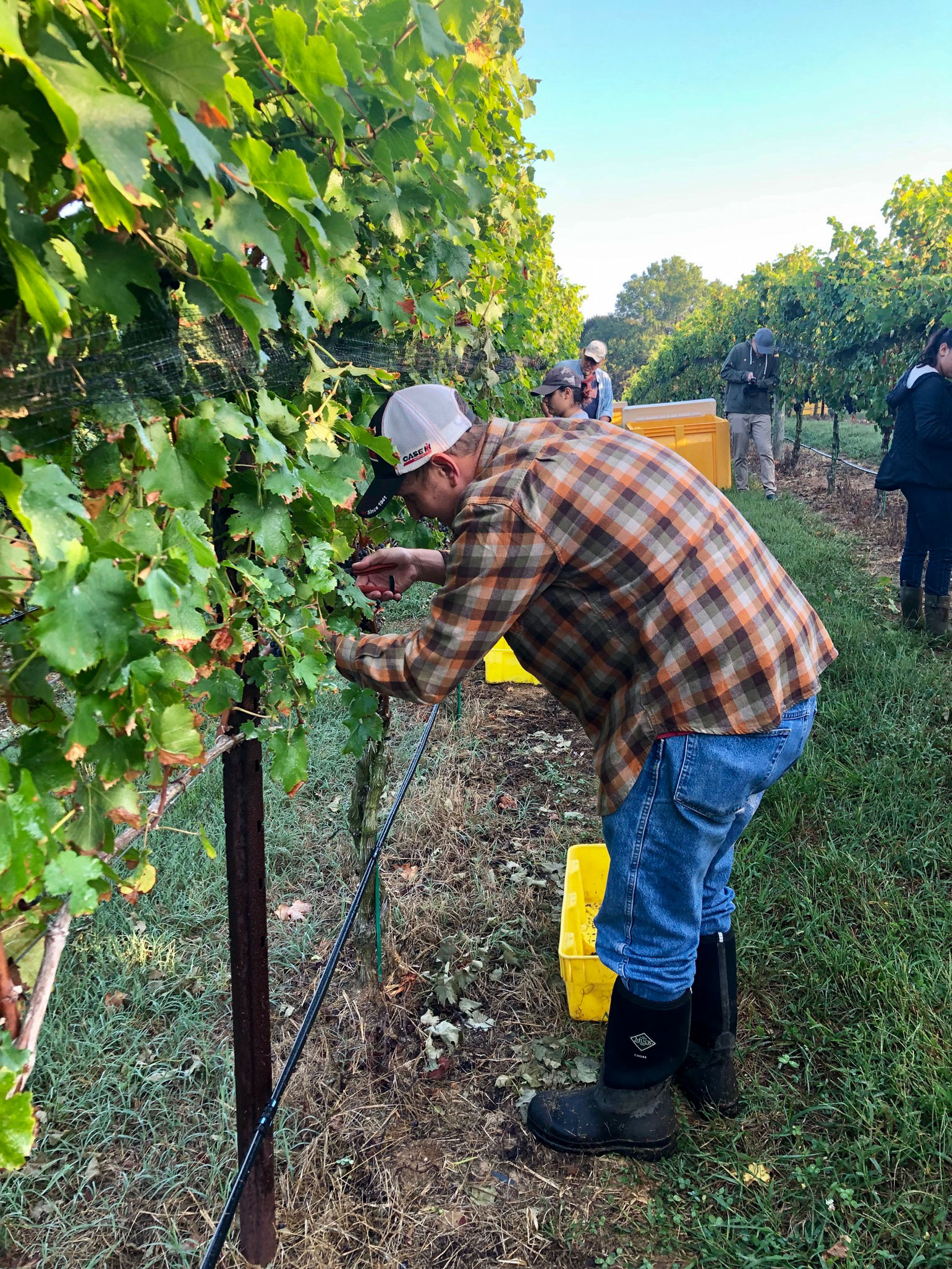 Workers harvest grapes by hand at Robin Hill Farms and Vineyard