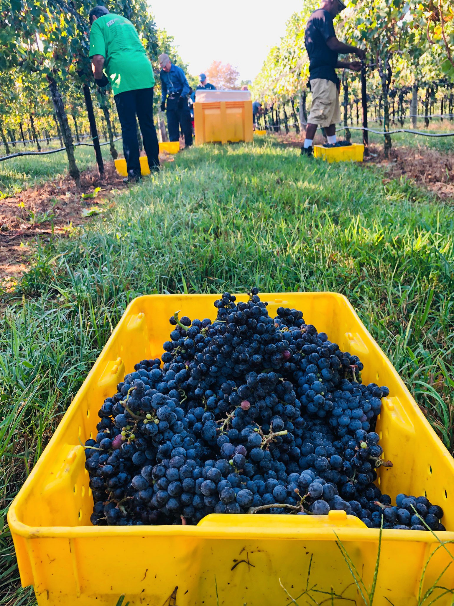 Close up of bin of freshly harvested grapes at Robin Hill Farms and Vineyard