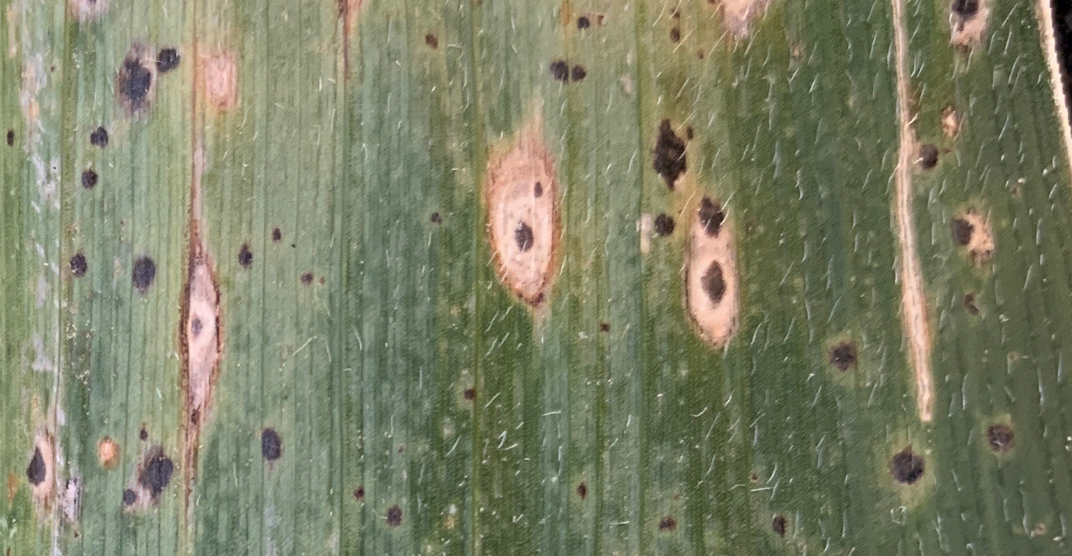 tan to brown lesions with dark borders  around the tar spots onplant