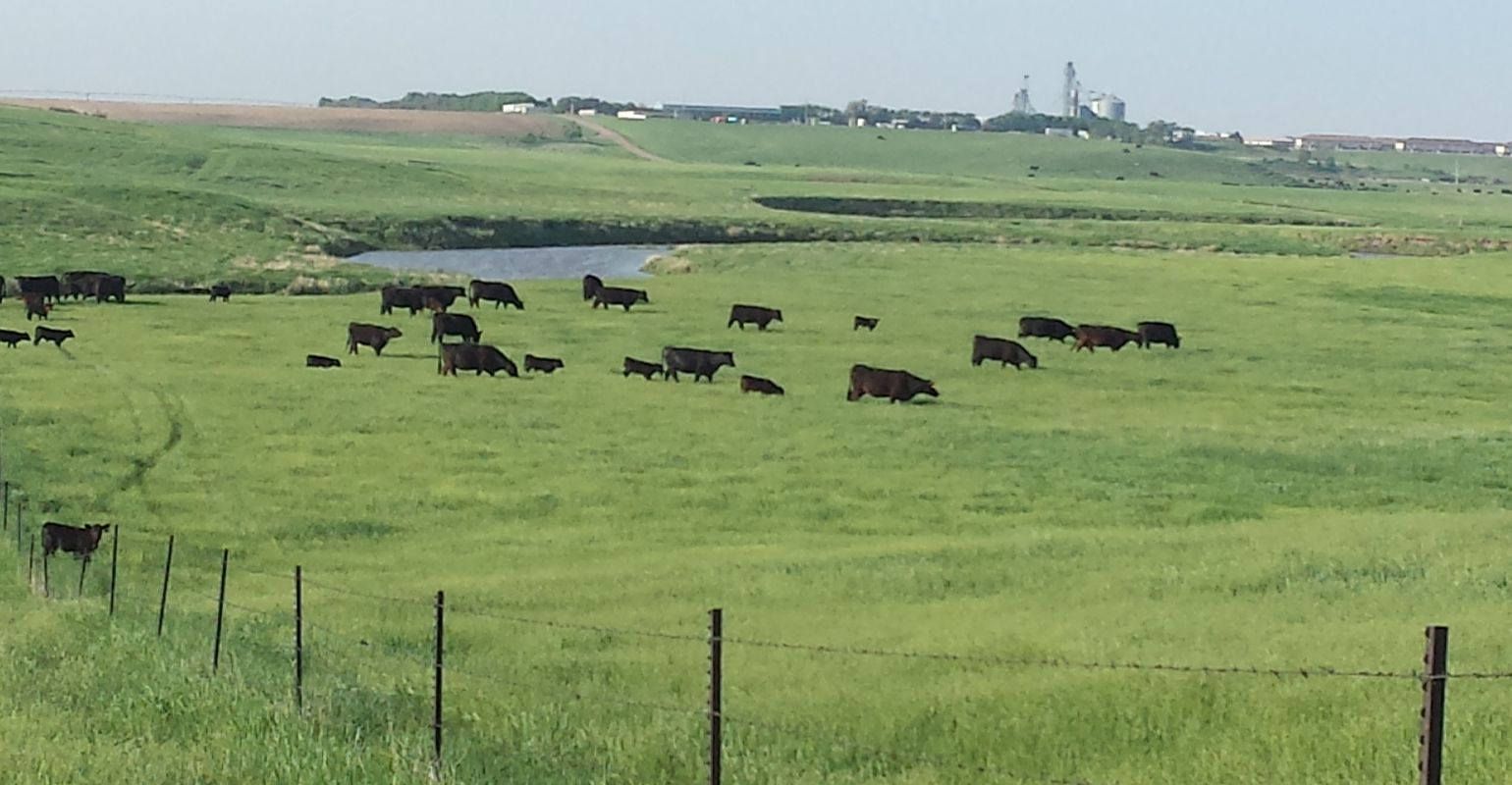 black cattle grazing near waterway