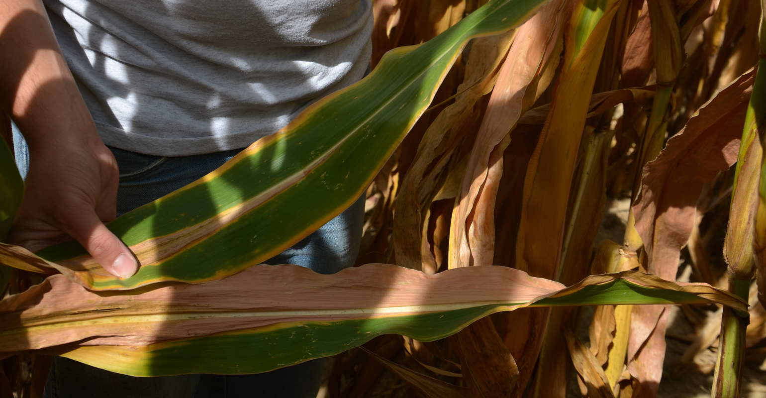 corn leaves showing signs of potassium and nitrogen deficiencies