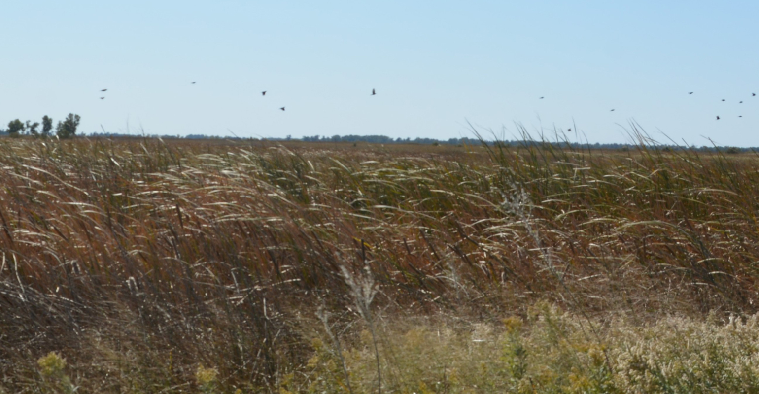 Birds flying over the grass-covered sand dunes that make up the land of Quivira National Wildlife Refuge