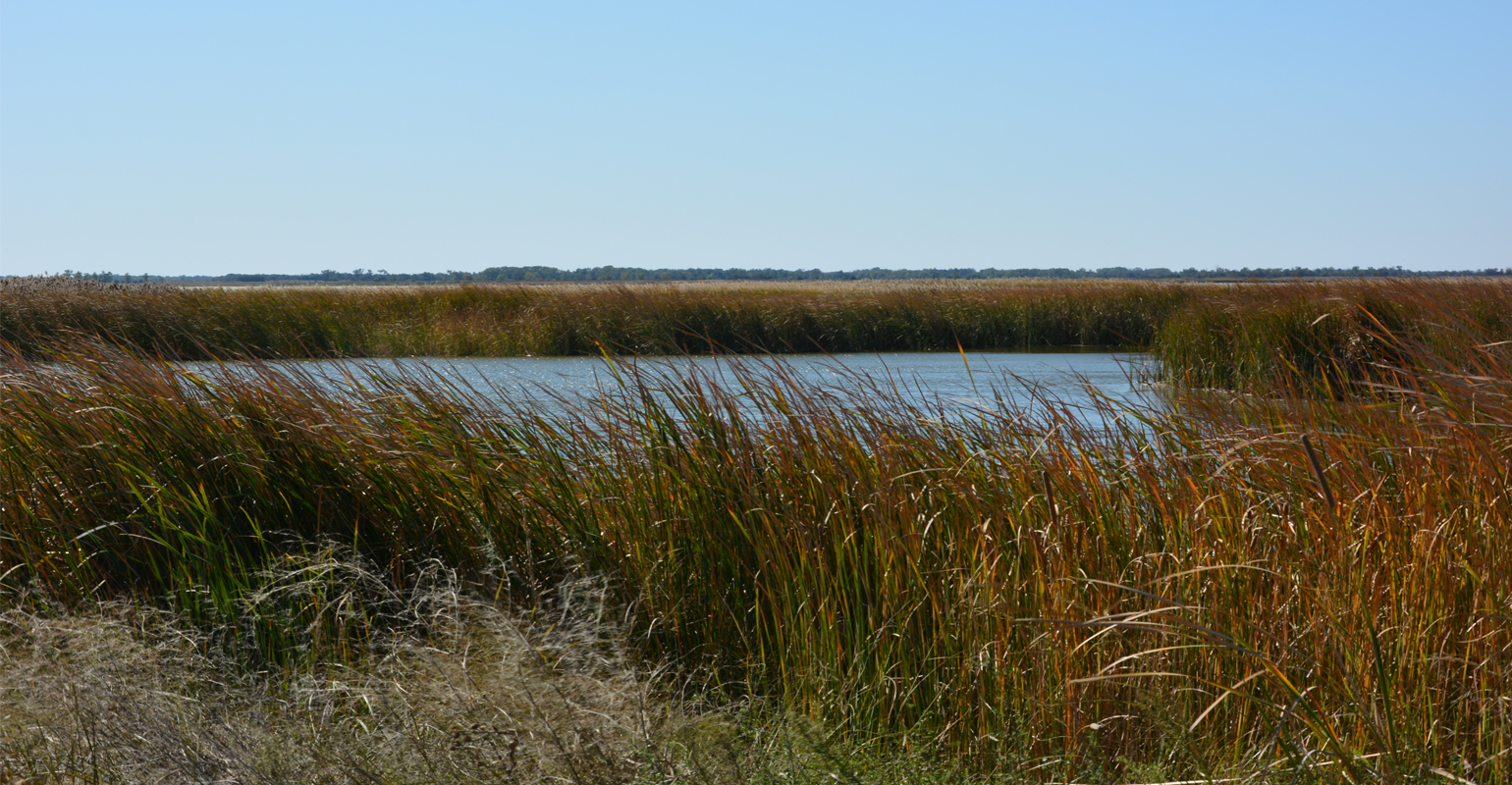 Grasses surrounding a pool of water in the Quivira refuge