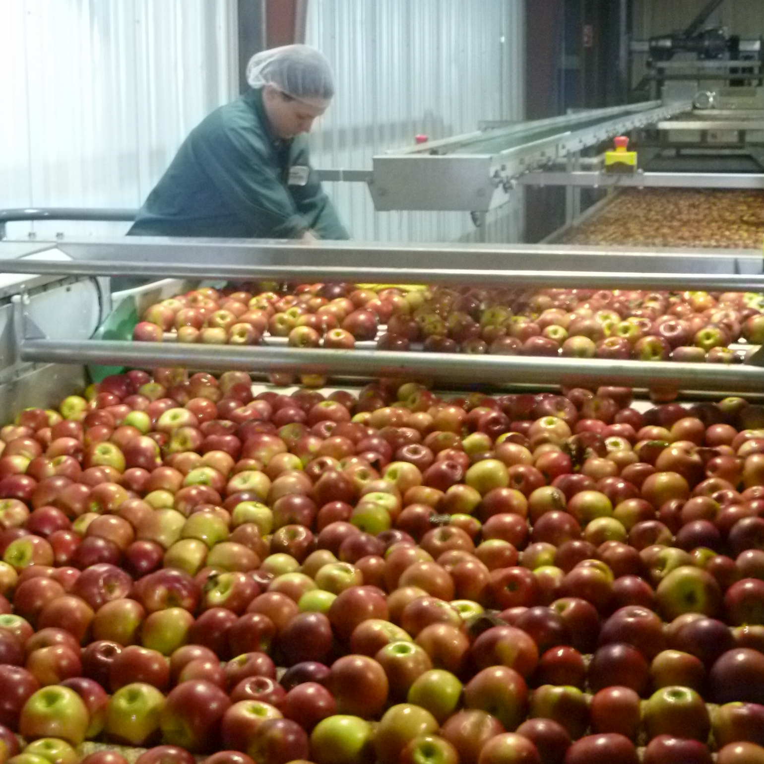 A worker at New York Apple Sales Inc. sorts apples on a conveyor