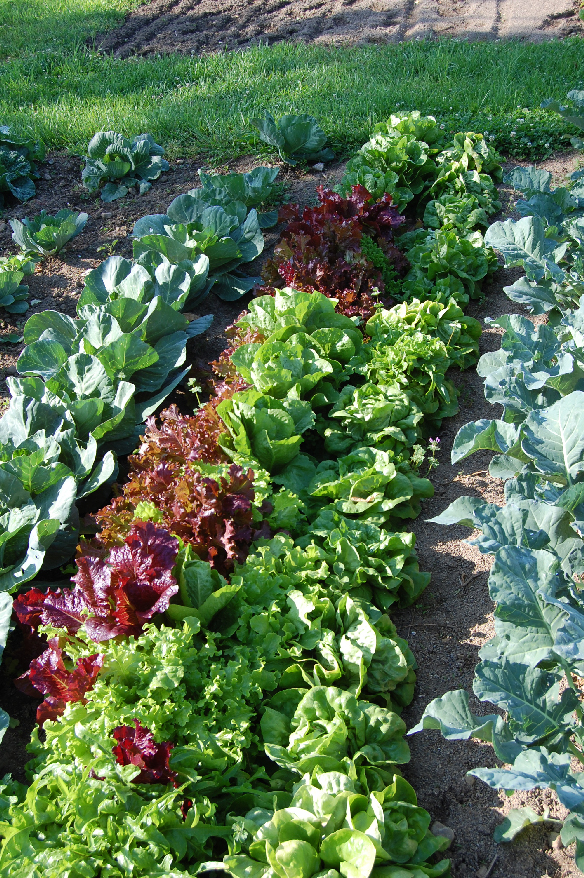 leafy garden vegetables in garden plot