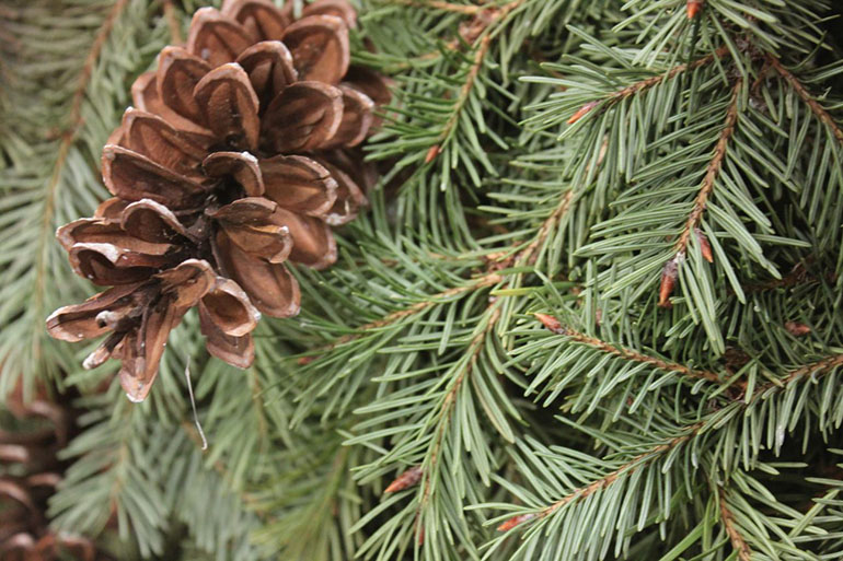 Closeup of pine cone on Christmas tree