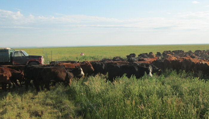McElroy's densely grazing herd