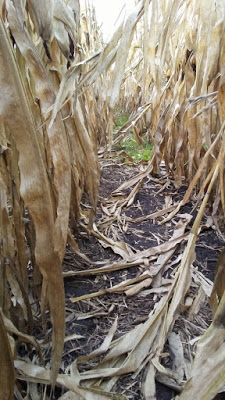 8.12 cover-crop-in-corn.jpg