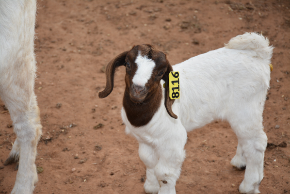 SWFP-SHELLEY-HUGULEY-GOEN-GOATS.jpg