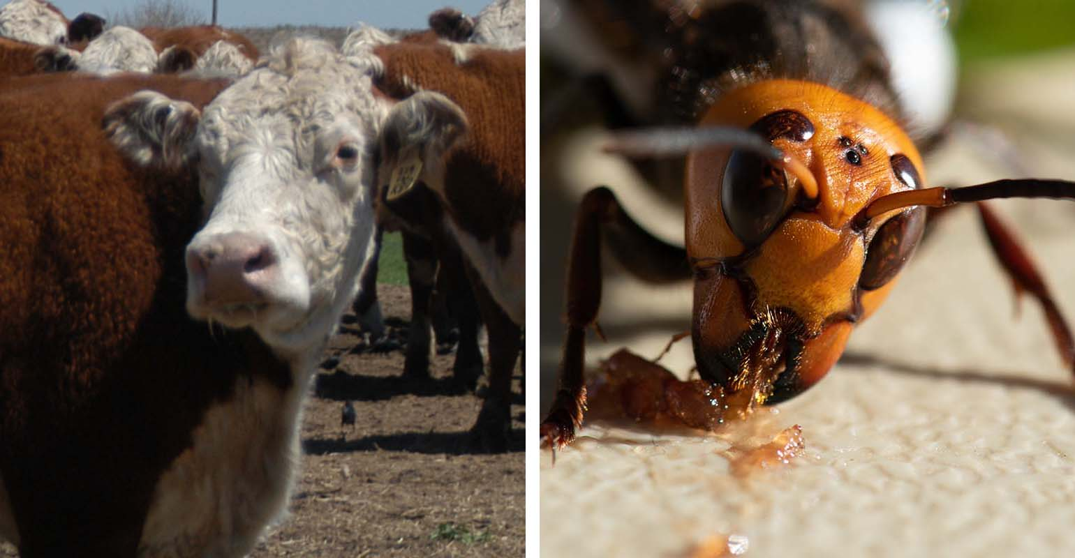 cattle-face-asian-hornet.jpg