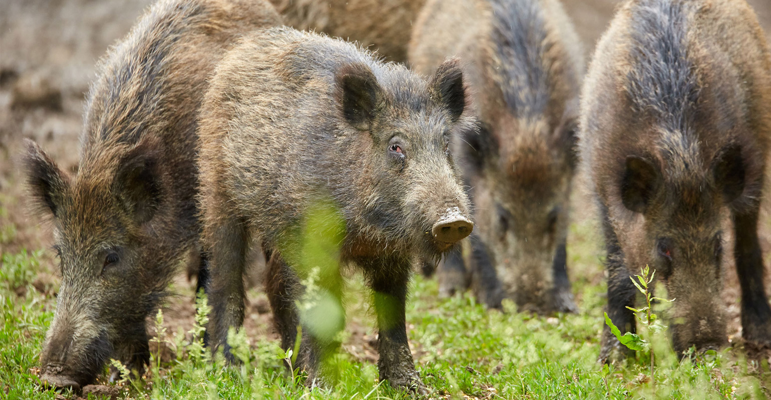 juvenile-wild-hogs-GettyImages-971011550-web.jpg