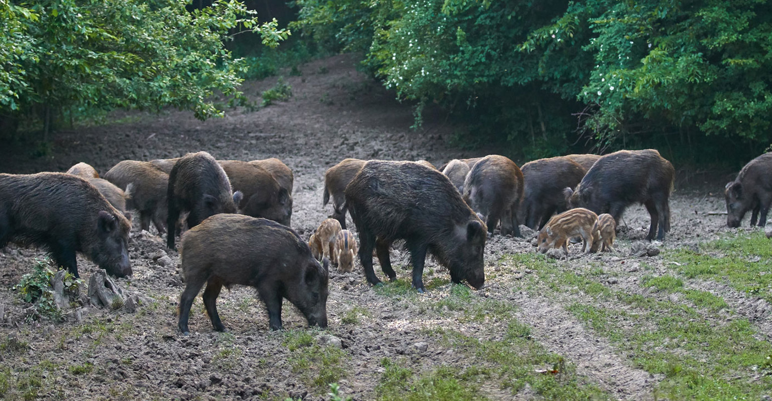wild-hog-forest-GettyImages-971101980-web.jpg