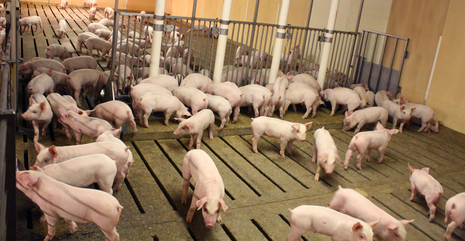 pigs penned indoors