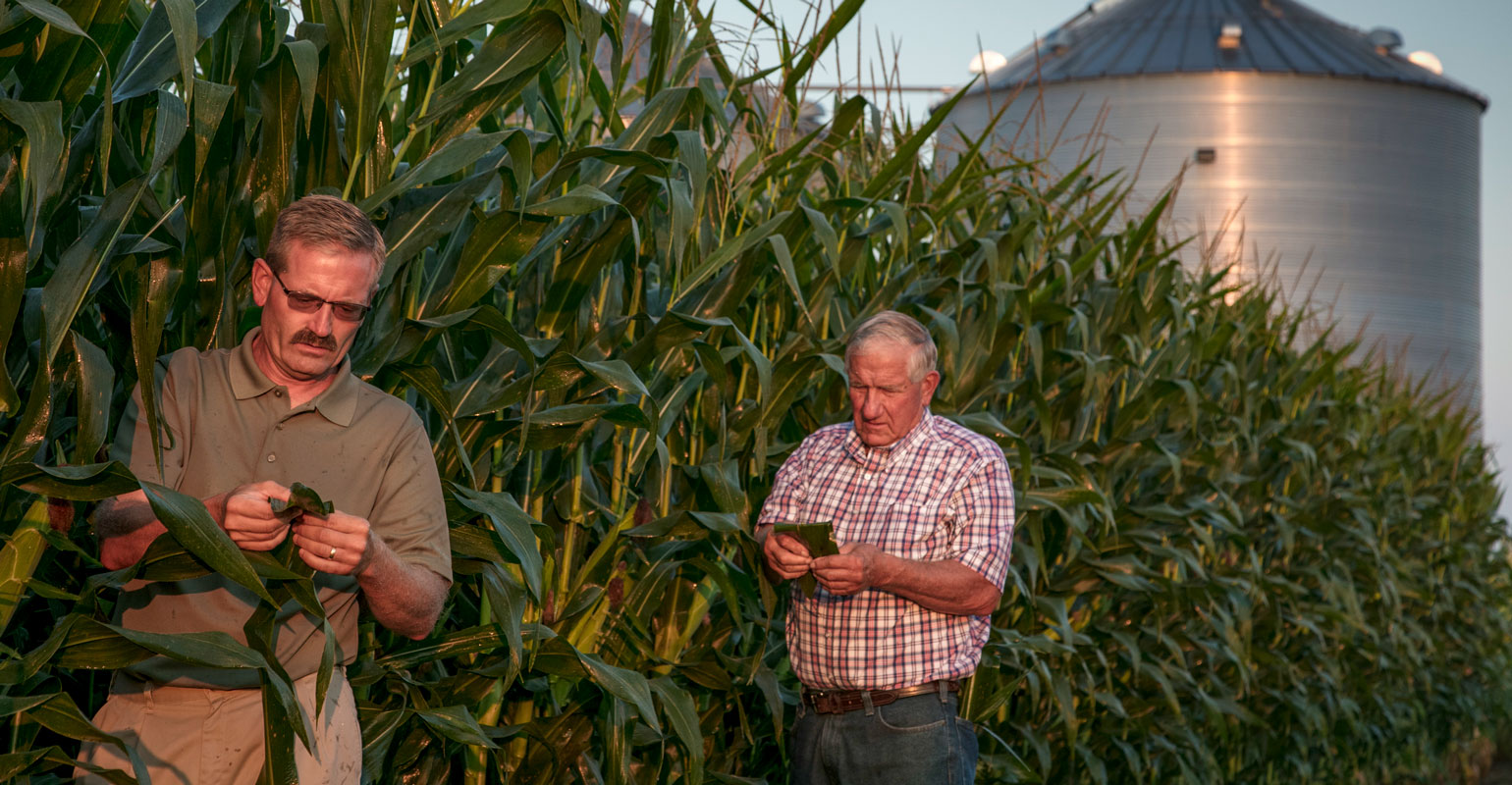Two farmers examine the leaves of corn plants along a research plot at dusk