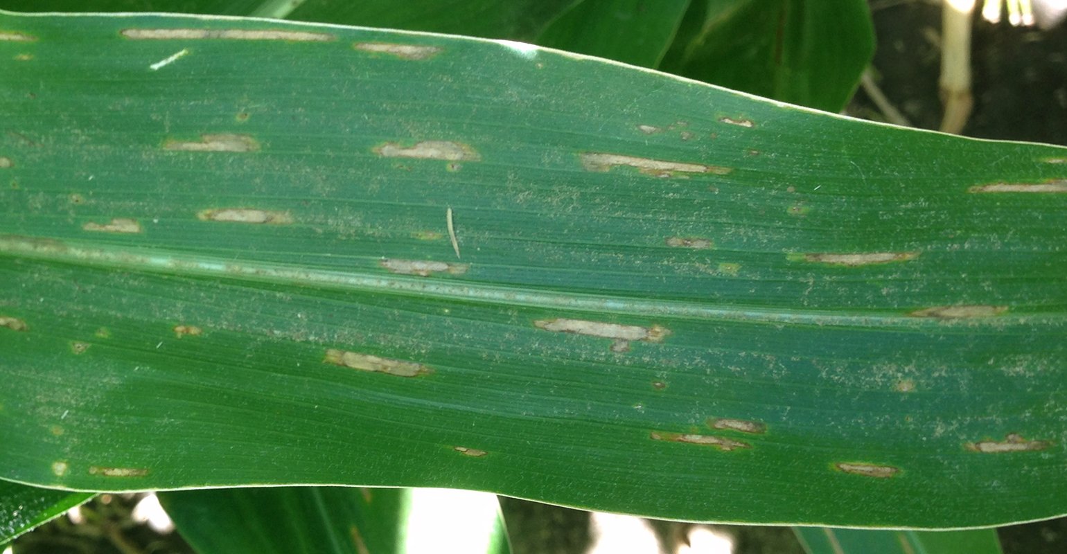 Gray Leaf Spot on corn leaf