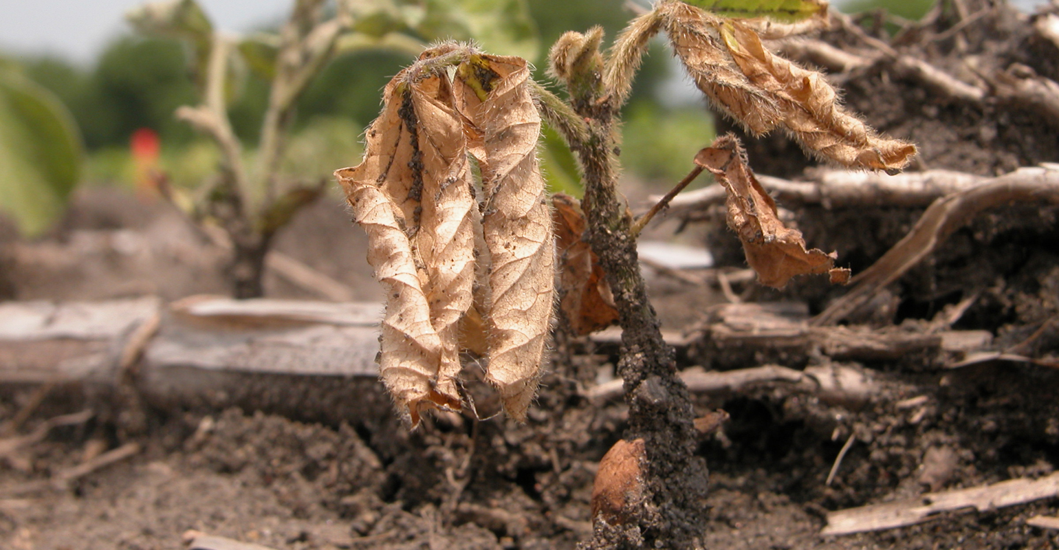 PHYTOPHTHORA shown on early growth of soybean plant