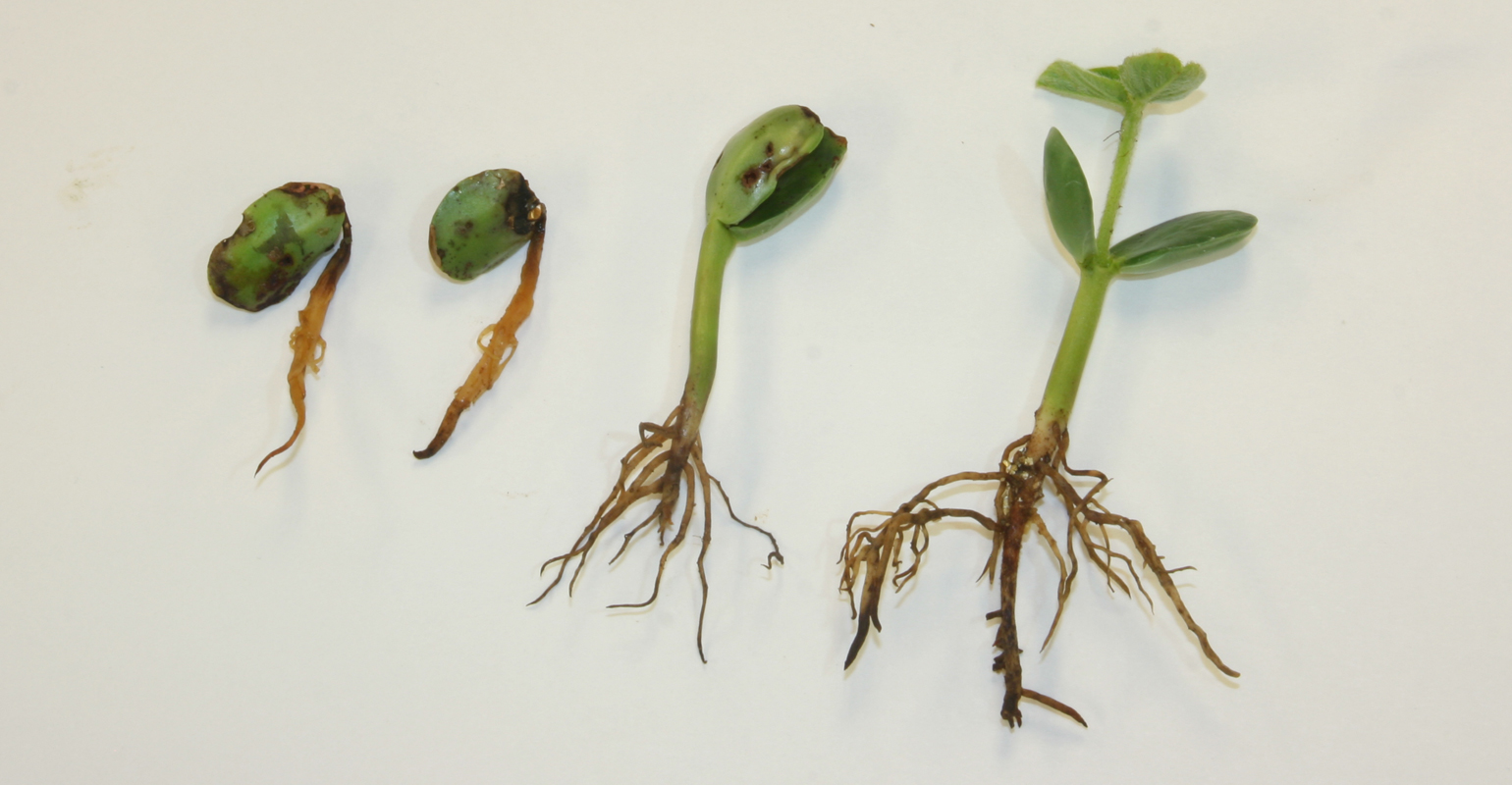 PYTHIUM shown on soybean