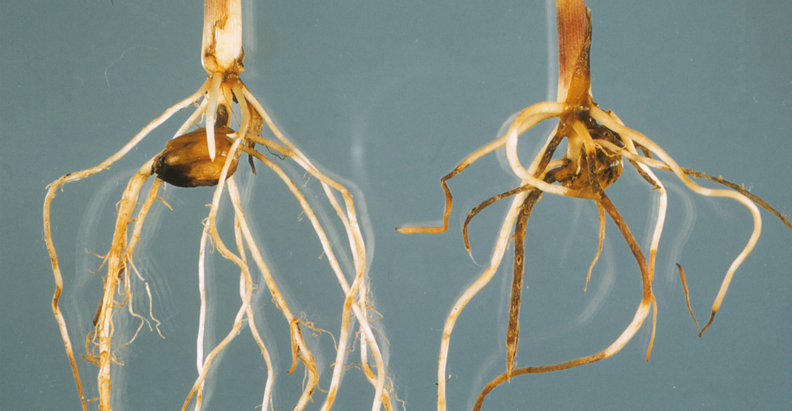 Root rots in corn can be caused by several pathogens—Pythium, Fusarium and Rhizoctonia.