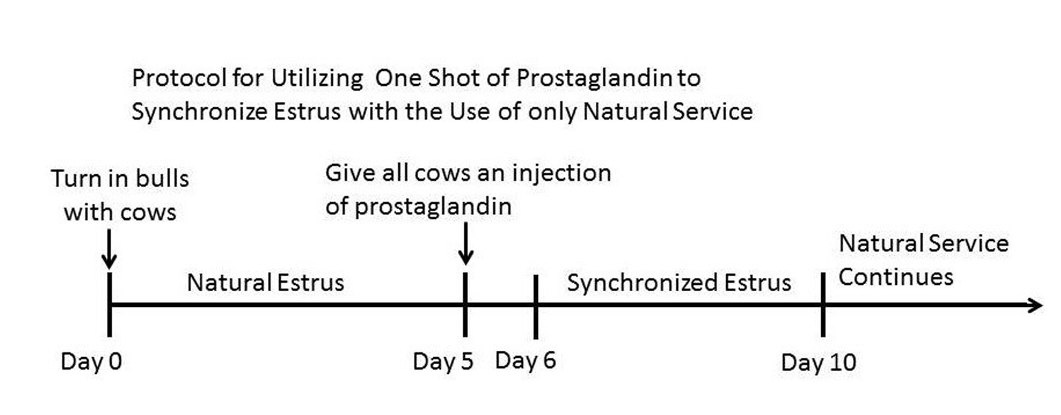 protocol for utilizing one shot of prostaglandin to synchoronize estrus with the use of only natural service