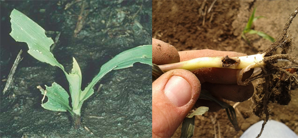 Black cutworm larvae usually begin chewing on corn plants above the soil surface. Leaf feeding (left) may be seen. As larvae mature, they can severely damage or kill plants (right).