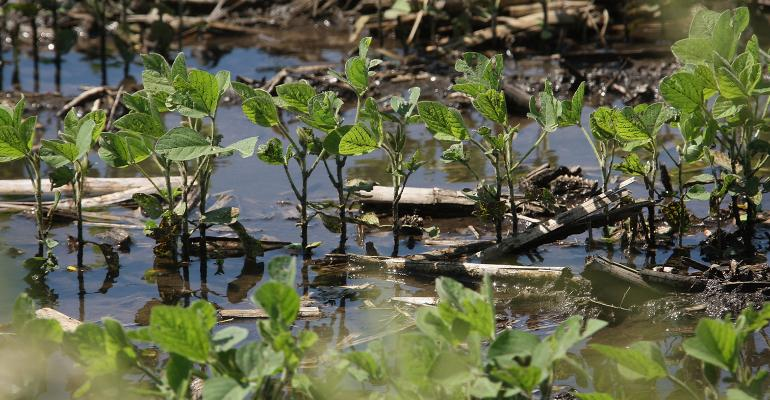 soybean plants submerged in flood water