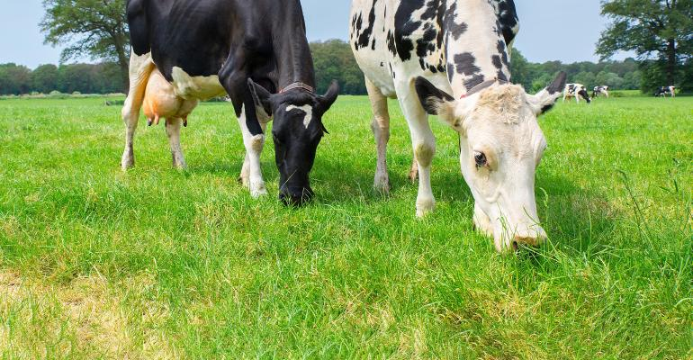 two dairy cows grazing