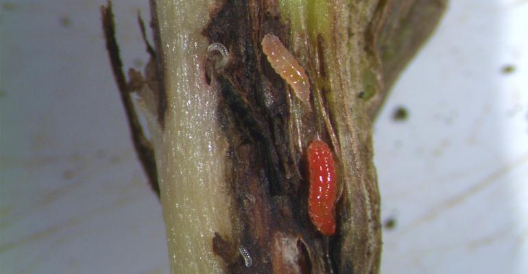 Gall midge larvae feed inside the soybean stem near the base of the plant
