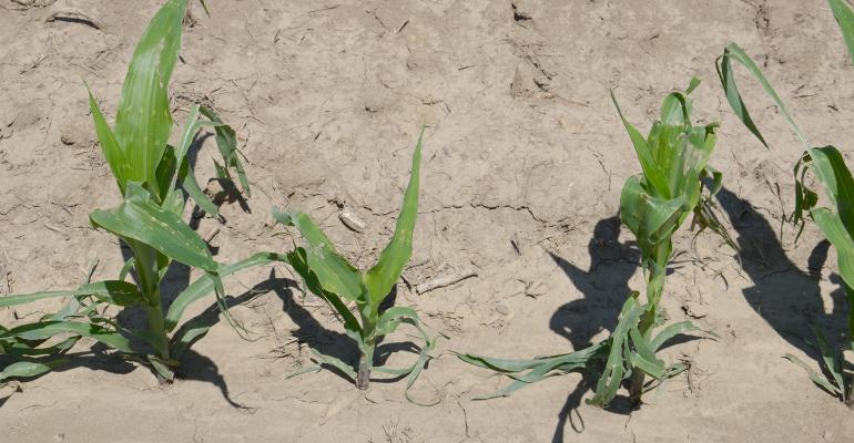 four young corn plants damaged by hail
