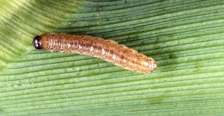 European Corn Borer closeup