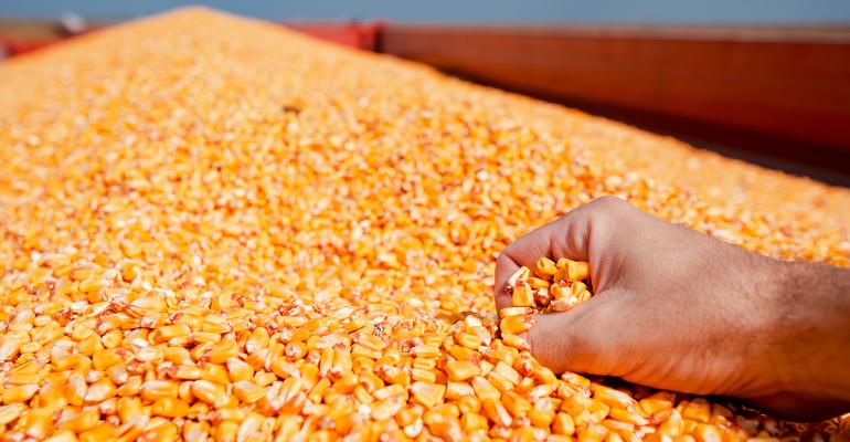 hand clutching shelled corn in grain wagon
