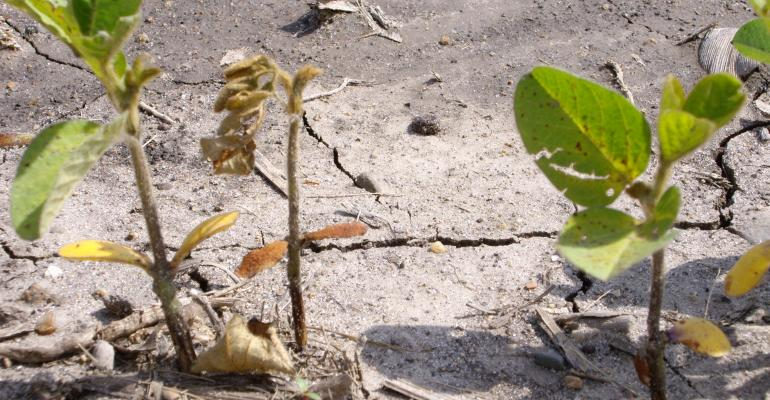 soybeans with soybean seedling disease