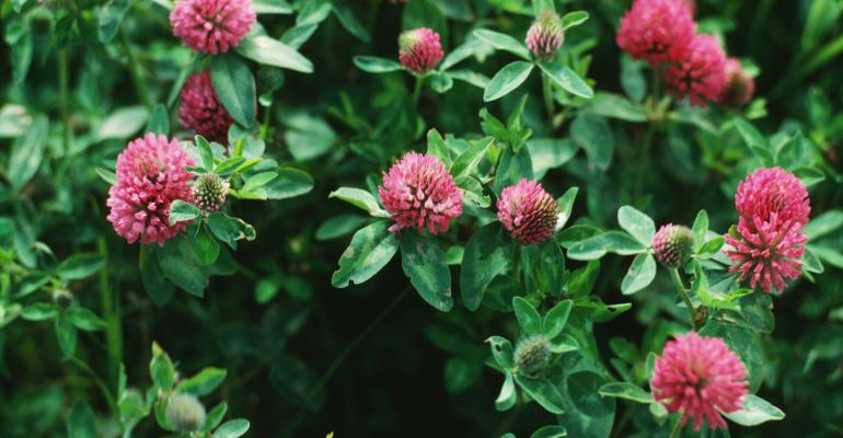 red clover plant up close
