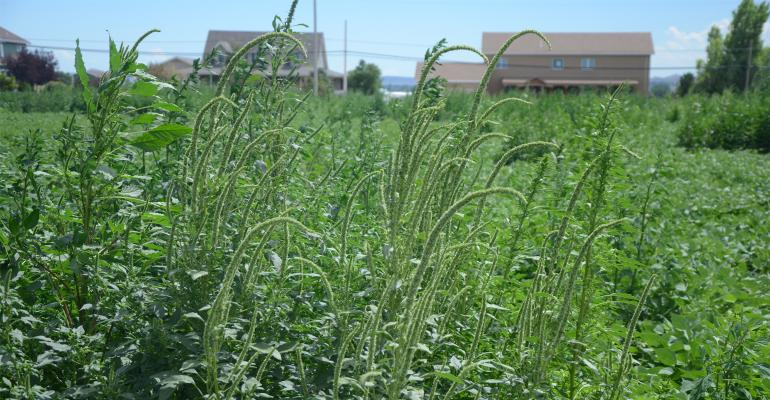 Palmer amaranth grows in a plot at the Panhandle Research and Extension Center